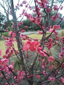 Japanese flower maple; prunus mume
