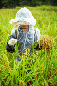 woman harvesting rice in field