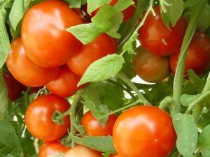 NC 1 CS tomatoes