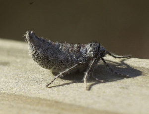 Fall cankerworm female moth