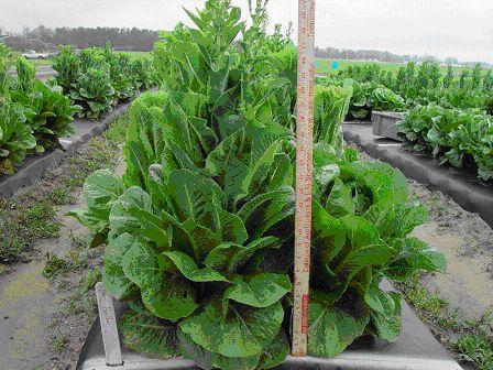 How to harvest romaine lettuce from garden garden ftempo for How to pick lettuce from garden
