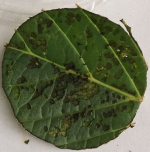 Flea beetle damage on hydrangea. Photo: SDF