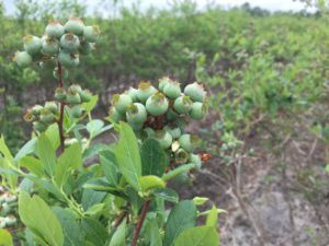 Cover photo for Blueberry Insect Monitoring Report April 21, 2017