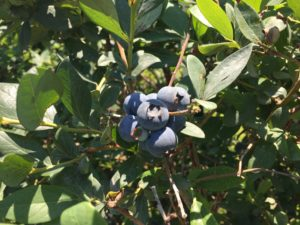 Cover photo for Blueberry Insect Monitoring Report, 19 May 2017