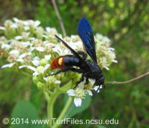scoliid wasp on flower