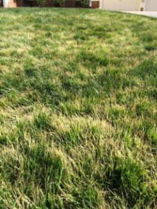 browning out of tall fescue