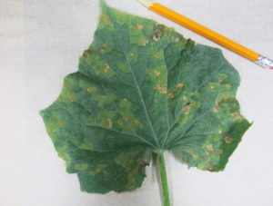 Cover photo for Cucumber Downy Mildew Confirmed in Buncombe County, NC - July 7, 2017