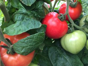 Cover photo for Pest Management Strategic Plan for Tomato in the Southeast