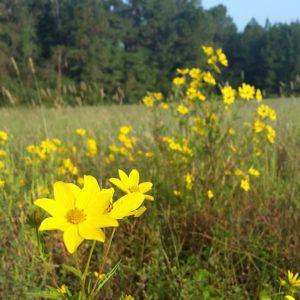 Abundant Yellow Wildflowers