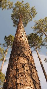 Cover photo for The Natural Shift: Longleaf Conversion Workshops