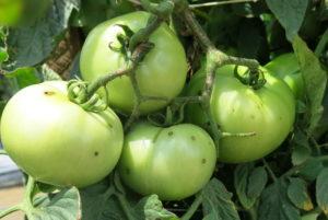 Bacterial spot on tomato fruit