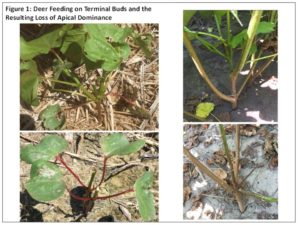 Cover photo for Evaluating and Managing Deer-Damaged Cotton (Collins& Edmisten)