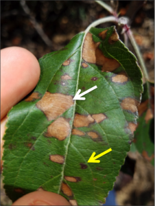 Cover photo for Preparing for Glomerella Leaf Spot and Fruit Rot in 2018
