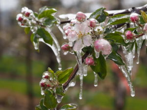 Cover photo for Apple Horticultural Update: Cold Temperatures and Crop Load Management