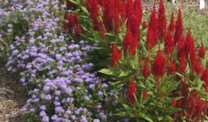 a landscape bed with blue ageratum and red celosia in flower