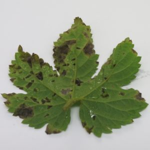 Cover photo for Hop Downy Mildew Reported in North Carolina