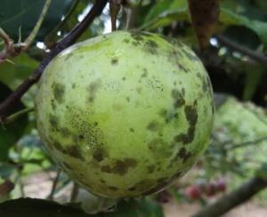 Cover photo for Apple Disease Update: Week of June 24