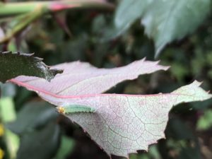 Rose sawfly on a rose leaf. Photo: SD Frank