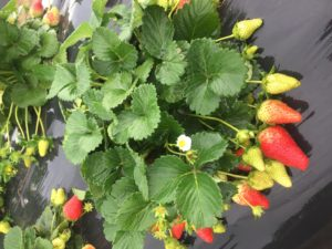 Cover photo for NC State Strawberry Breeding Program on NC State Extension Homegrown