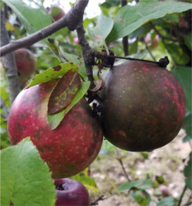 Cover photo for 2019 Apple Disease Update: 3rd and 4th Cover