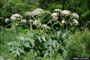 giant hogweed large white flowers 3ft leaves