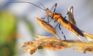 Adult milkweed assissin bug