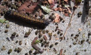 Late instar orangestripped oakworm larva on a sidewalk with frass. Photo: SD Frank