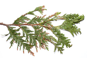 Cover photo for Two Unusual Needle Problems in Arborvitae