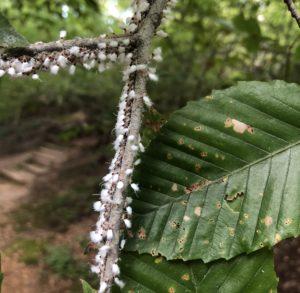 Beech blight aphids (Grylloprociphilus imbricator) on a beech twig. Photo:SD Frank