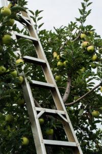 Ladder beside apple tree