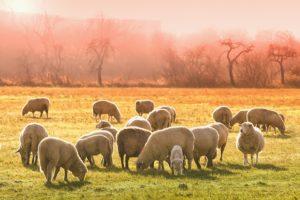 flock of sheet grazing in pasture