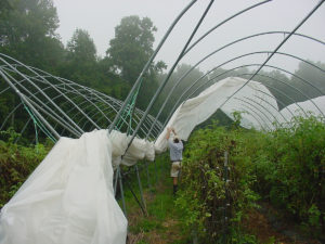 Alex Hitt removes the plastic from a Haygrove tunnel before Hurricane Charley in 2004.