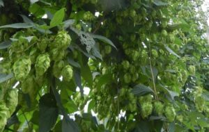Cover photo for Want to Learn All About Growing and Selling Hops?
