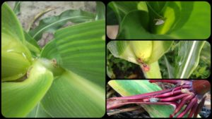Cover photo for Important Changes for Stink Bug Thresholds in Corn for 2020