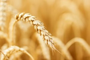 Cover photo for Can Wheat Can Be Made Gluten Safe for People With Celiac Disease by Using Gene Editing?