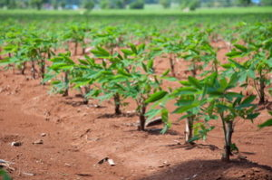 Cover photo for Biofortified Cassava Supplies Increased Levels of Iron and Zinc