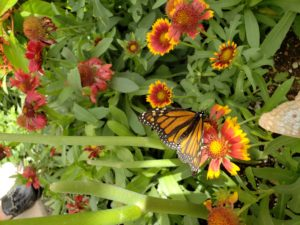Monarch butterfly on gallardia