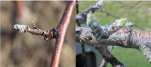 Cover photo for Apple Disease Update: Late Silver Tip + Green Tip