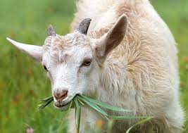 Cover photo for Piedmont Regional Goat & Sheep Conference