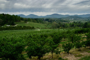 Picture of apple orchard and mountains