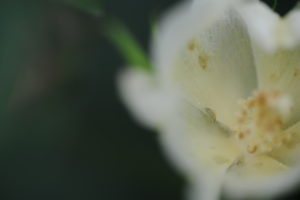 Cover photo for Scouting Tarnished Plant Bug (How Not to Miss a Spray)
