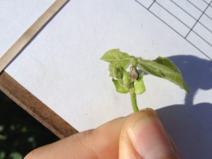 Cover photo for Insecticide Recommendations for Tarnished Plant Bug