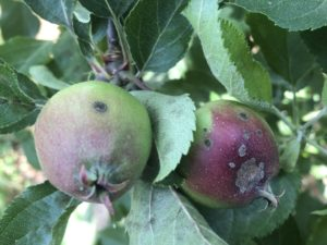 Developing apple scab lesions on immature fruit