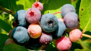 Cover photo for N.C. Blueberry Season Is Heating Up