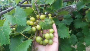 Cover photo for Grape Pest Survey - 2nd Week of July