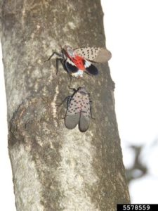 When wings are closed, the grey, black-spotted forewings are visible, and when wings are open the red coloring of the forewings is visible.