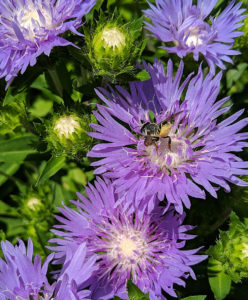 Leafcutter bee on stoke's aster.