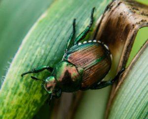 Japanese Beetle, Adult