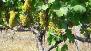Bunch grapes, Rowan Co.