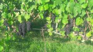 vinifera grapes. Wilkes Co.